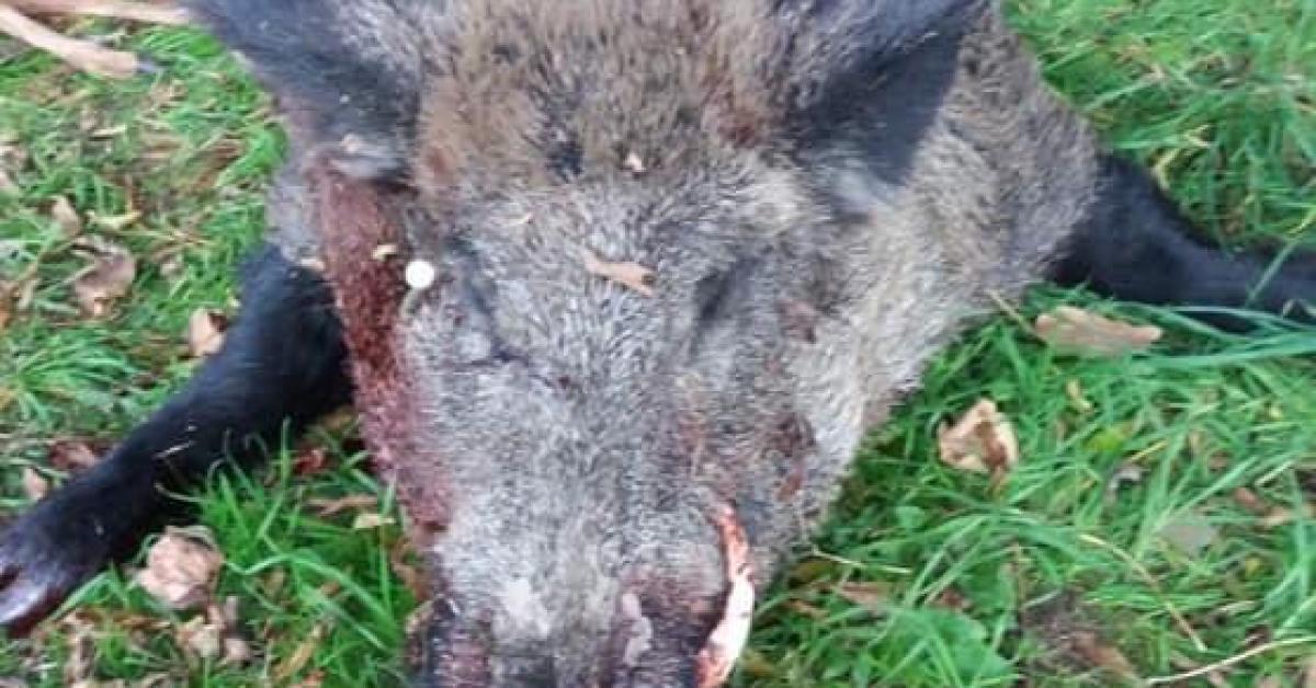 Besonrieux a perdu sa mascotte: Oscar, le sanglier domestique apprécié par tous les riverains, a été tué par des chasseurs