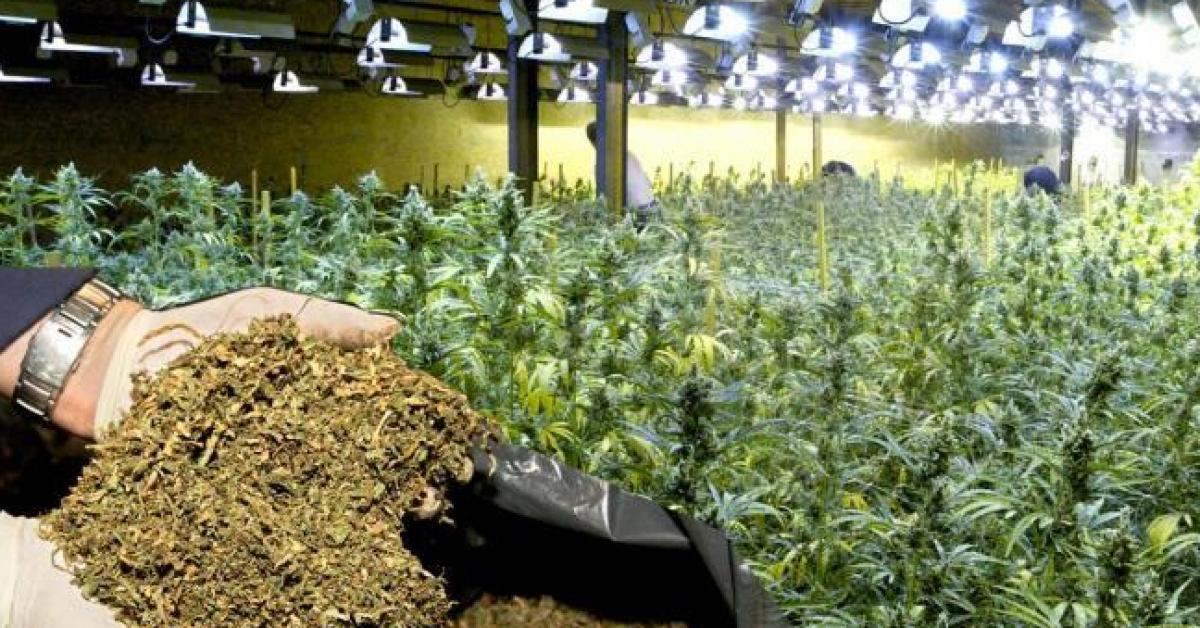 Liège: le jugement de 17 planteurs de cannabis reporté