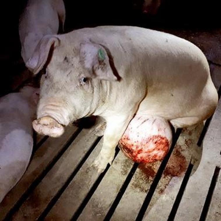 Maltraitance animale: Colruyt et Delhaize stoppent leur collaboration avec un fournisseur