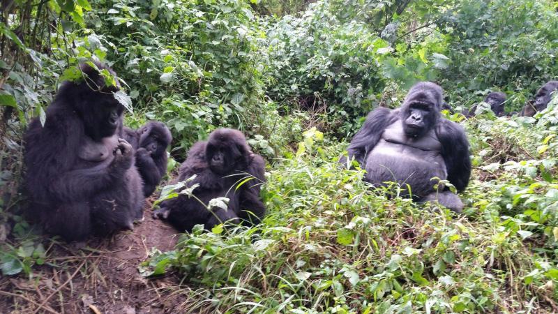 Deux gorilles posent pour un selfie avec un garde forestier — Congo