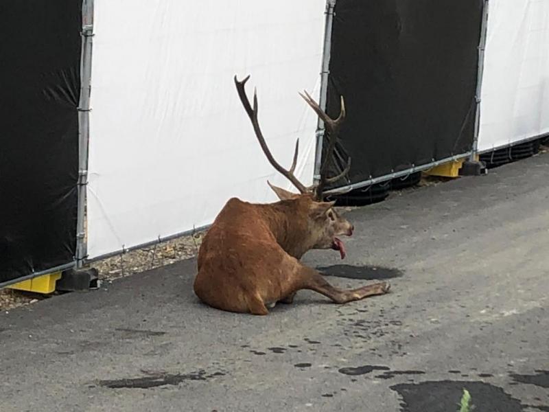 Compiègne : un cerf réfugié dans le centre-ville après une chasse à courre
