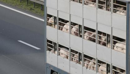 Un camion transportant des cochons sur le flanc sur la E40 près de Bruges: l'autoroute accessible mais encore embouteillée