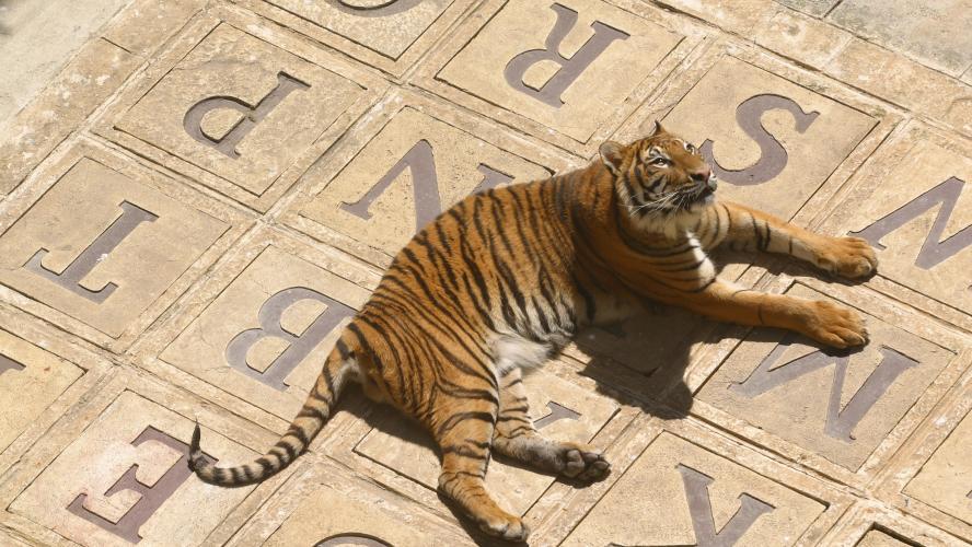 La fin des tigres dans Fort Boyard? Les défenseurs des animaux demandent à  France 2 d'arrêter de les utiliser