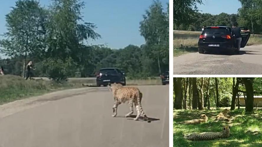 VIDÉO - Pays-Bas: des touristes français attaqués par des guépards