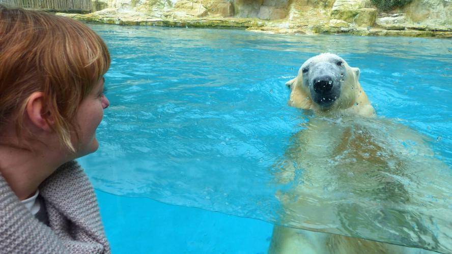 Olaf, l'ours blanc du zoo d'Amnéville, est mort