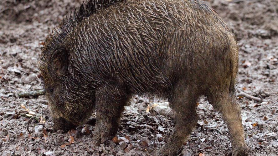La chasse suspendue dans les Ardennes — Peste porcine