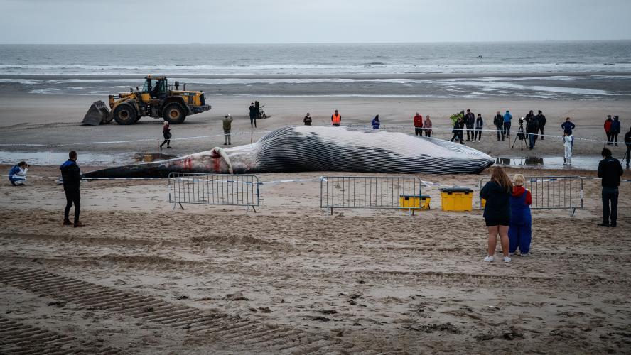 Belgique: Une baleine de 18 mètres s'échoue sur une plage