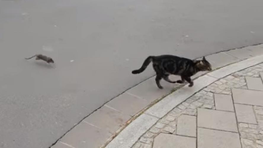 Un chat attaque un rat et le regrette aussitôt!