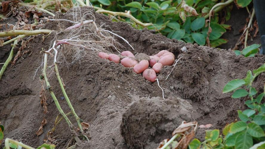 Une grenade de la Première Guerre dans les patates