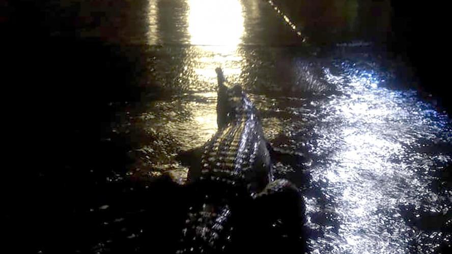 Un crocodile dans les rues de Townsville