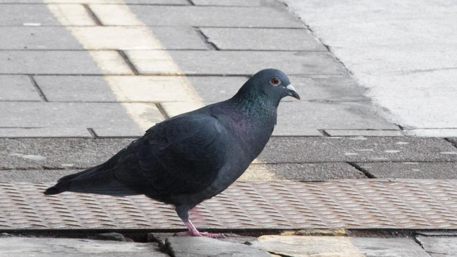 Record mondial: Un pigeon vendu 1,25 million d'euros!