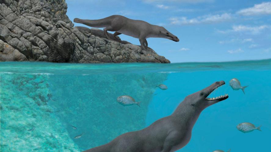 Une baleine quadrupède de 42,6 millions d'années découverte au Pérou (images)