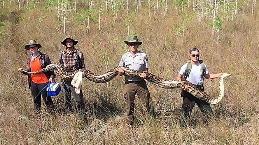 Un python de 5,20 m capturé en Floride — Monstrueux