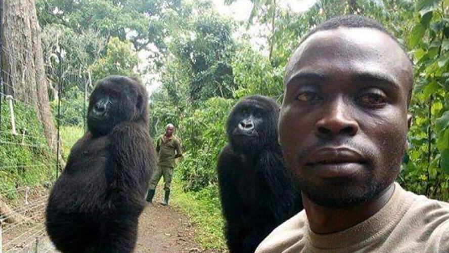 Selfie du ranger et des gorilles
