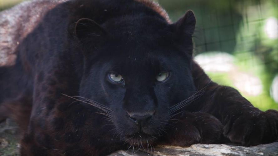 reproduction des pantheres noire