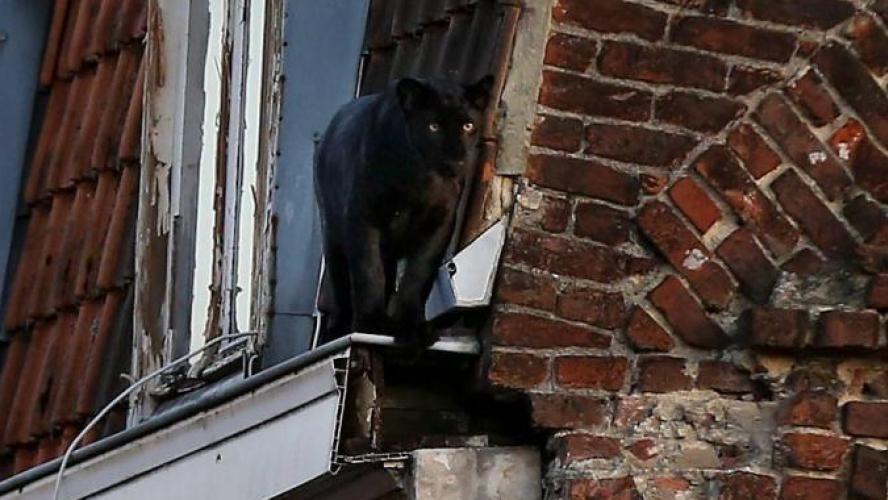 Le propriétaire présumé placé en garde à vue — Panthère d'Armentières
