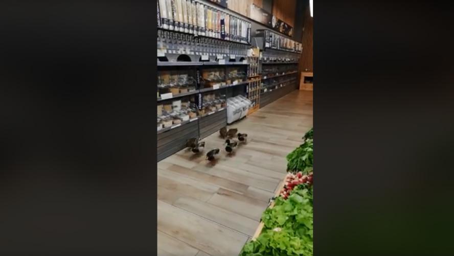 Vidéo: Quand des canards viennent s'alimenter dans un magasin bio