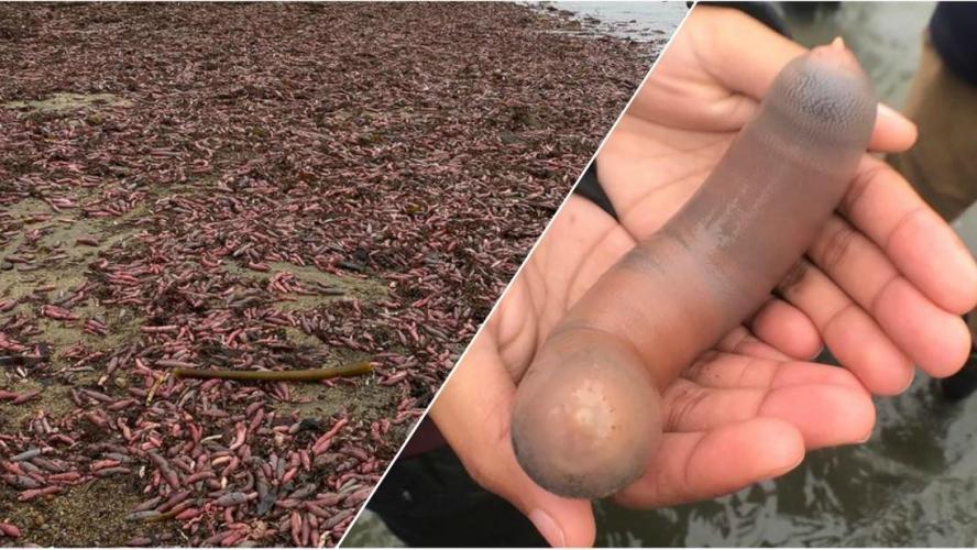 Californie: des milliers d'étranges poissons échouent sur une plage