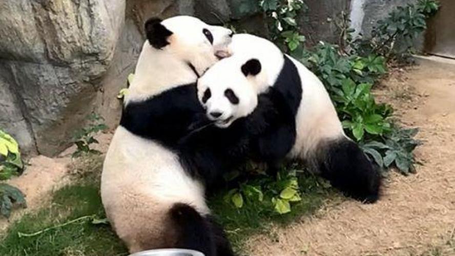 Enfin au calme, les pandas du zoo s'accouplent à nouveau — Hong Kong
