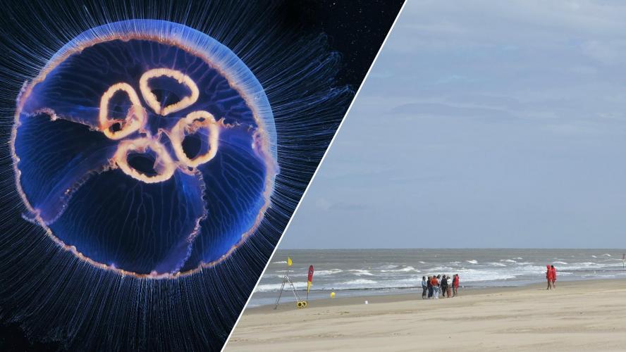 Les méduses plus nombreuses que jamais dans les eaux de la mer du Nord: «Il ne faut surtout pas appliquer une eau douce ou de l'urine sur sa piqûre»