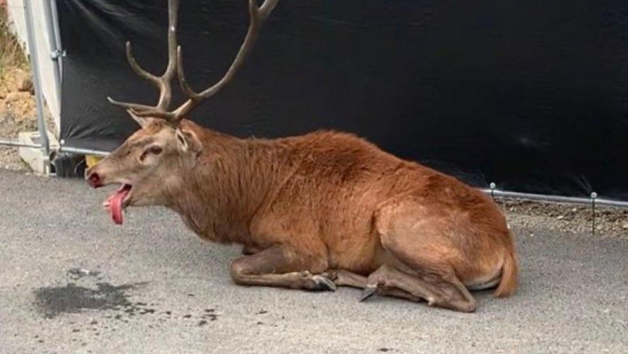 Un cerf retrouvé réfugié dans une zone en construction après une chasse à courre — Hauts-de-France