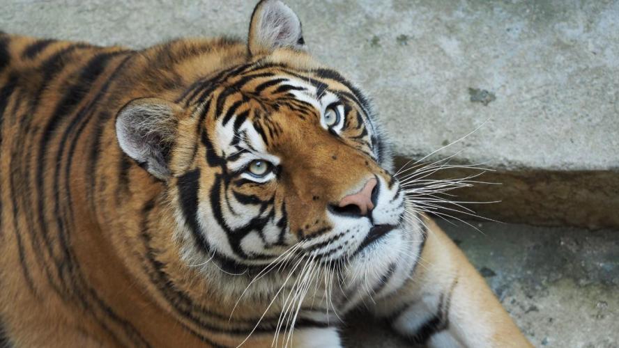 La fin des tigres dans