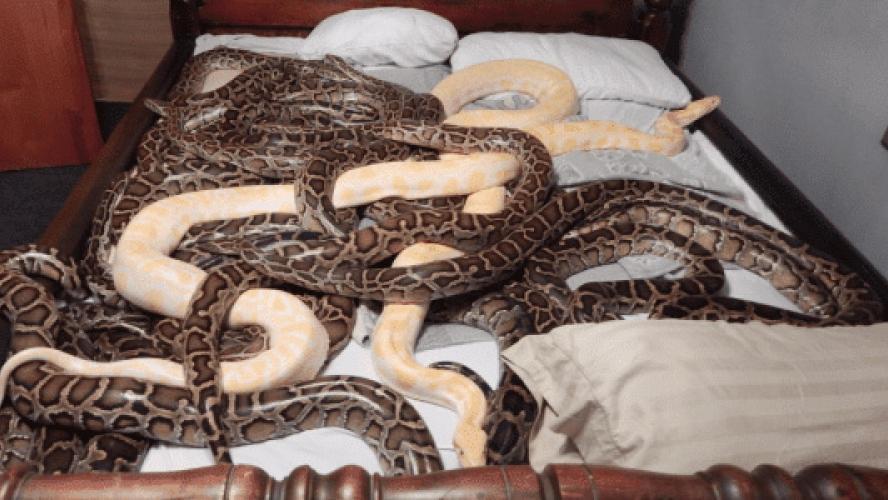 Une maison de l'horreur découverte aux Etats-Unis: plus de 20 pythons, 585 rats et 46 lapins circulaient librement dans l'habitation (vidéo)