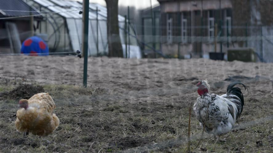 La grippe aviaire est en Belgique: contrôles, risques, symptômes, voici ce qu'il faut savoir si vous avez des volailles
