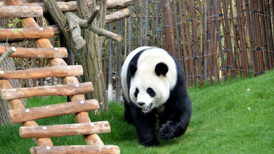 Un soigneur grièvement blessé par un panda géant à Pairi Daiza — Belgique