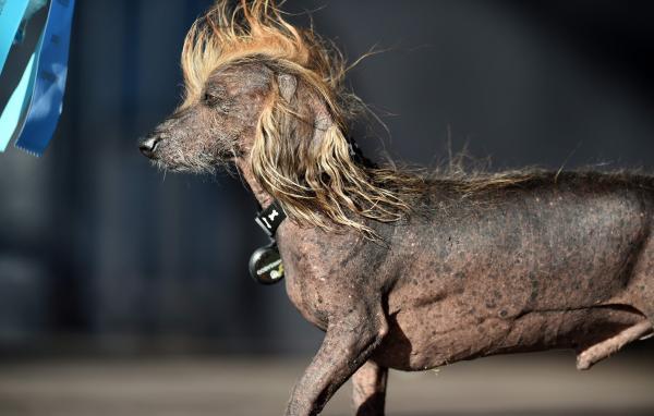 Le chien le plus laid du monde est une bouledogue femelle